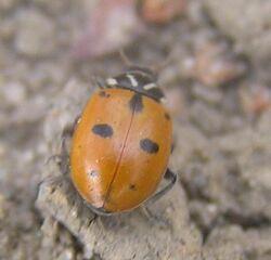 Sinuate ladybird 1