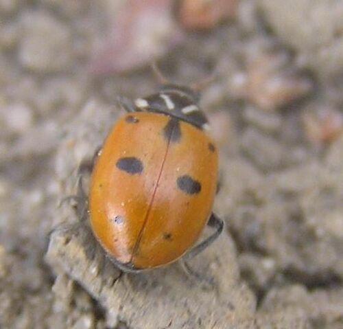 File:Sinuate ladybird 1.jpg