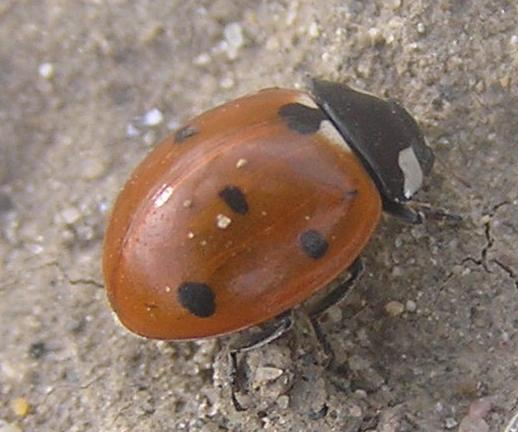 File:7-spotted ladybird2.jpg