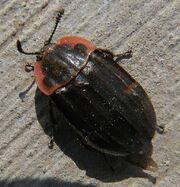 Margined carrion beetle1