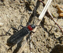 P. collaris longhorn beetle