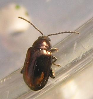 File:Copper flea beetle.jpg