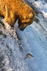 File:Grizzly Bear Fishing.jpg