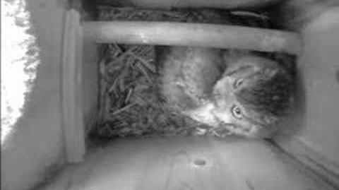 Eastern Scrrech Owl Cam