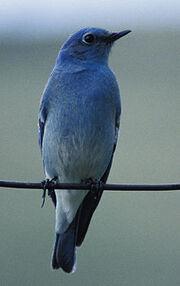 Mountin Bluebird