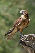 Falcon real life