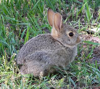 675px-Rabbit in montana