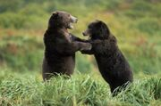Upright-dancing-fighting-bears 5345