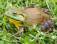 Example of bullfrog