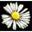 File:Substances White myrtle petals.png