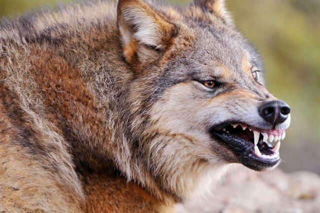 File:Wolf-wolves-32863739-2560-1700.jpg
