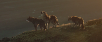 WB Wolf 38