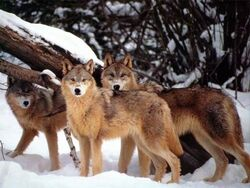 Hell Hounds Pack