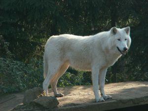 File:464799 white wolf.jpg