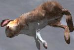 Hare carcass (2.7)