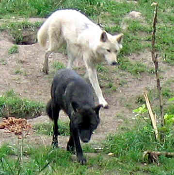 File:A white wolf and a black wolf by Keara sama.jpg