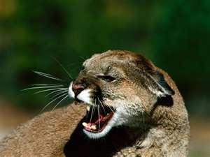 File:Cougars.jpg