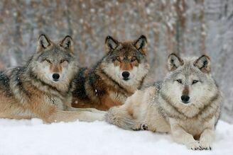 0603312216501wolf pack bp