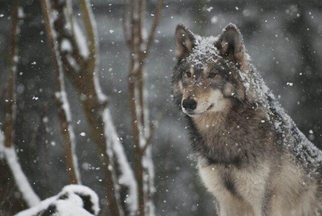 File:Wolf in snow.jpg