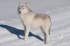 File:White wolf 12.jpg
