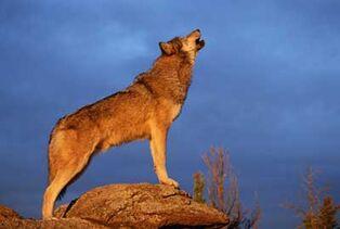 Wolves-howling-at-moon-2