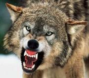 Wolf-attack2