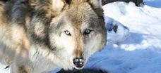 Wolf16-1-