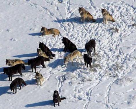 File:Large-wolf-pack2.jpg