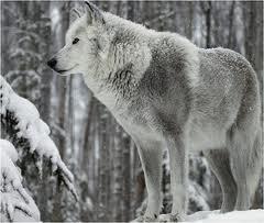 File:White wolf 3.jpg