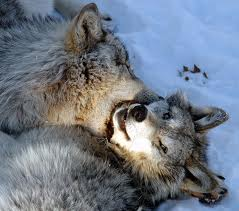 File:Huskies.jpg