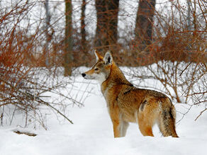 Red wolf (edme)