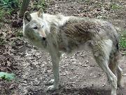Lone wolf!