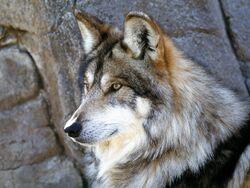 Wolf 2th