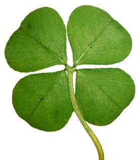 File:Genuine-lucky-four-leaf-clover-3-p.jpeg
