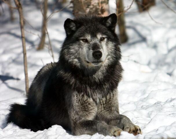 File:Winter-Wolves 20060303 164-1-.jpg