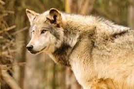File:Wolvesofthebeyond shadow wolf.jpg
