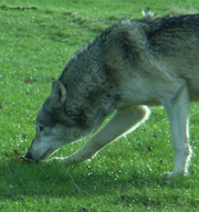 Wolf sniffing by howling wolfie