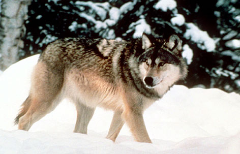 File:Graywolf.jpg