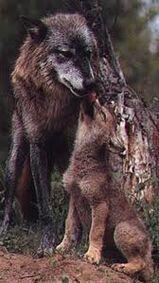 Arabianwolf7