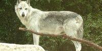 Mackenzie Tundra wolves