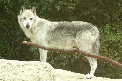 File:Mackenzie tundra wolf.jpg