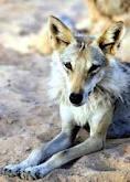File:Arabianwolf4.jpg