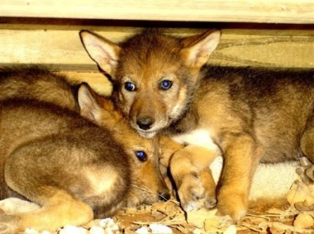 File:Red wolf pups.jpg
