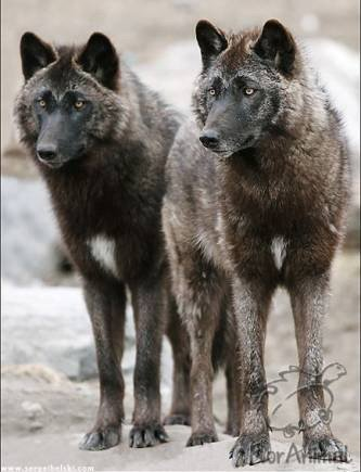 File:Steppe wolves 2020.jpg