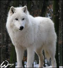 File:Articwolf5.jpg