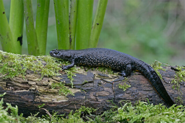 File:Great-Crested-Newt-Images.jpg