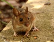 Wood-mouse-3