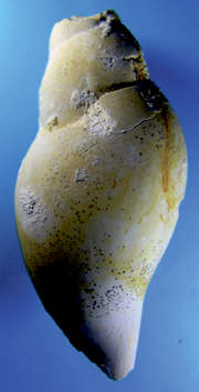 20087 Scaphella faxensis 90 mm