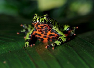 File:8061196-oriental-fire-bellied-toad-male-in-defensive-pose-showing-belly-china-green-frog.jpg