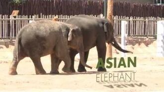 All About Asian Elephants!